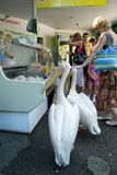 Pelikany na ulicie Obrazy Royalty Free