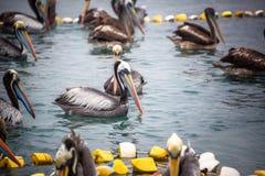 Pelikany na wodzie zdjęcie royalty free
