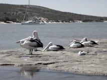 Pelikany odpoczywa na skałach Gantheaume zatoka, Kalbarri obraz royalty free
