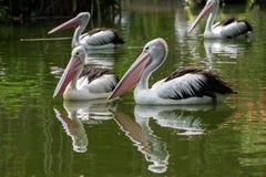 Pelikany pływa w stawie zdjęcia stock