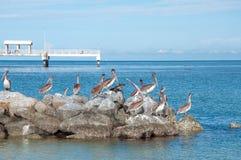 Pelikany przy Fortu deSoto Parkiem Obrazy Royalty Free