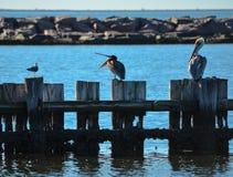 Pelikany Stoi na palowaniach obrazy royalty free