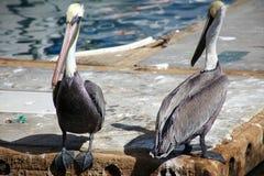 Pelikany stoi w pokładzie nad wodą w oceanu Tropikalnym raju w Los Cabos Meksyk Zdjęcia Royalty Free