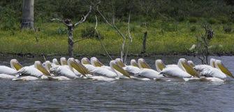 Pelikany w jeziorze obraz royalty free