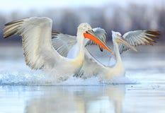 Pelikany w magii świetle Fotografia Royalty Free