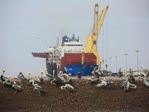 Pelikany w naturalnego parka Ballestas wyspie zdjęcie royalty free