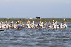 Pelikany w płytkiej wodzie Obraz Stock