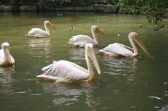 Pelikany w stawie obraz royalty free