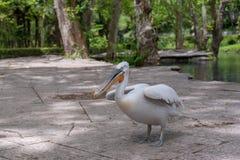 Pelike en parc photos libres de droits
