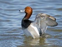 Pelirrojo masculino Duck Flapping Wings Foto de archivo libre de regalías