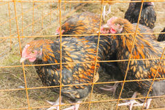 Pelirrojo y gallina manchada, mirando hacia fuera de detrás barras Pollo Fotografía de archivo