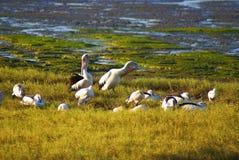 Pelis dans l'herbe Photos stock