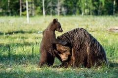 Pellame dei cuccioli di orso per un'orsa Fotografie Stock Libere da Diritti