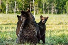 Pellame dei cuccioli di orso per un'orsa Immagine Stock
