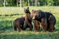 Pellame dei cuccioli di orso per un'orsa Fotografie Stock