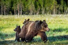 Pellame dei cuccioli di orso per un'orsa Immagini Stock