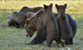 Pellame dei cuccioli di orso per un'orsa Orsa ed orso-cuccioli Femmina adulta dell'orso bruno (arctos di ursus) con i cuccioli su Immagini Stock