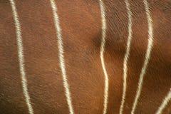 Pellame del bongo Fotografia Stock Libera da Diritti