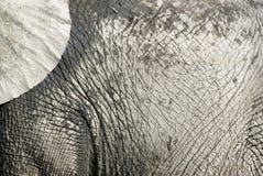 Pellame dell'elefante Fotografie Stock Libere da Diritti