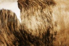 Pellame della mucca Immagini Stock Libere da Diritti