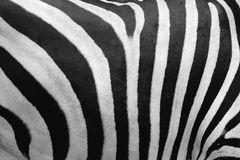 Pellame della zebra Immagini Stock Libere da Diritti