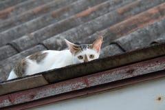 Pellame di Grey Cat e di bianco sul tetto Fotografia Stock