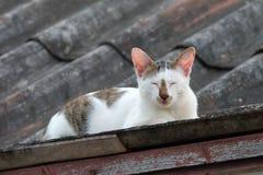 Pellami di Grey Cat e di bianco sul tetto Immagine Stock