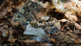 Pelle cambiante del serpente di crepitio sulla terra della foresta fotografia stock libera da diritti