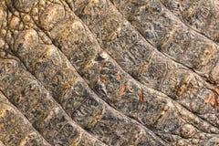Pelle del coccodrillo di struttura Fotografia Stock