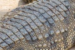 Pelle del coccodrillo di struttura Immagini Stock Libere da Diritti