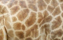 Pelle del cuoio genuino della giraffa Fotografia Stock Libera da Diritti