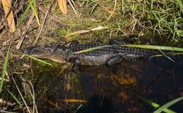 Pelle dell'alligatore Immagini Stock