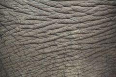 Pelle dell'elefante. Fotografie Stock Libere da Diritti