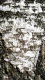 Pelle della betulla Immagini Stock