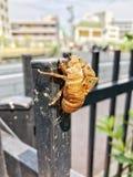 Pelle della cicala su estate fotografie stock libere da diritti