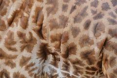 Pelle della giraffa Fotografie Stock Libere da Diritti