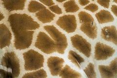 Pelle della giraffa Fotografia Stock