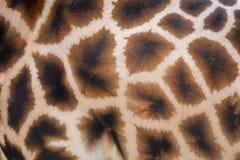 Pelle della giraffa con il modello Fotografie Stock