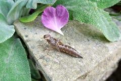Pelle della larva della libellula Immagine Stock