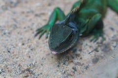 Pelle della testa del camaleonte Fotografia Stock Libera da Diritti