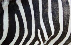 Pelle della zebra Fotografie Stock