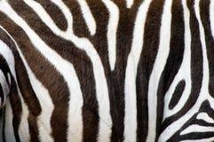 Pelle delle zebre Fotografia Stock Libera da Diritti