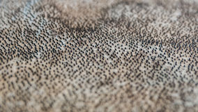Pelle dello squalo, museo dello squalo di Bjarnarhöfn in Islanda immagini stock libere da diritti
