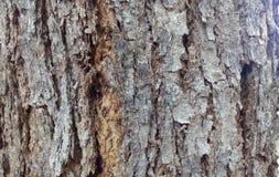 Pelle di legno del tronco Fotografie Stock