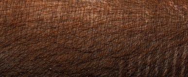 Pelle di maiale del primo piano Pelle di maiale di Brown Immagini Stock