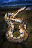 Pelle di serpente del pitone Immagini Stock Libere da Diritti