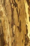 pelle di struttura dell'albero Fotografia Stock