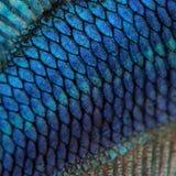 Pelle di un pesce siamese blu di combattimento Fotografie Stock Libere da Diritti