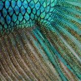 Pelle di un pesce siamese blu di combattimento Fotografia Stock