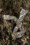Pelle di un serpente nella natura Dwingelderveld Immagine Stock Libera da Diritti